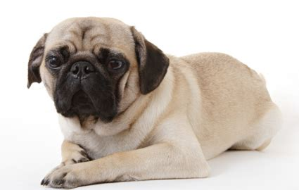 pug leg problems your pug s health problems pugbase