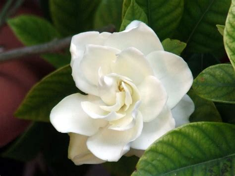 Gardenia Meaning 15 Flowers And Their Meaning