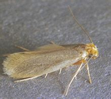 Do Pantry Moths Eat Wool by Treating A Clothes Moth Infestation Clothing Moth