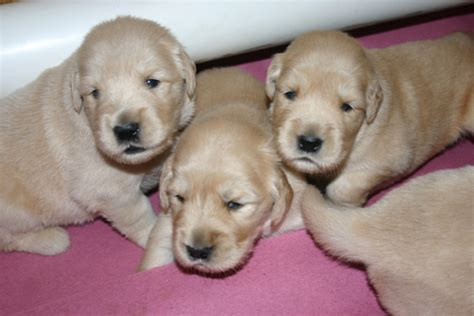 3 week golden retriever 10 golden retriever puppies for sale east coast pattaya region pets asiasold