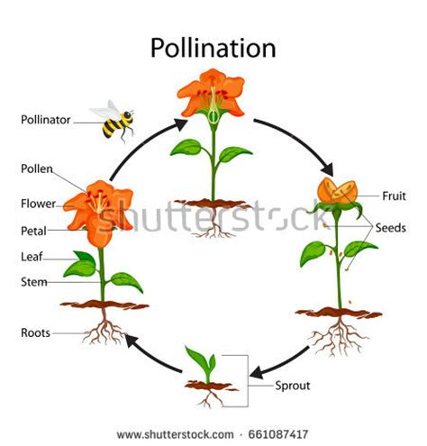 pollination diagram diagram of flower pollination choice image how to guide