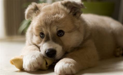 what to do for teething puppies top 28 puppy teething top 100 boy names american kennel club puppy kong