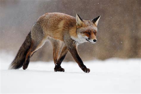 red fox running   snowshower photograph