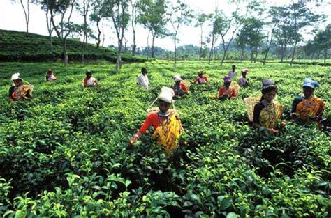 beautiful bangladesh tea gardensylhot