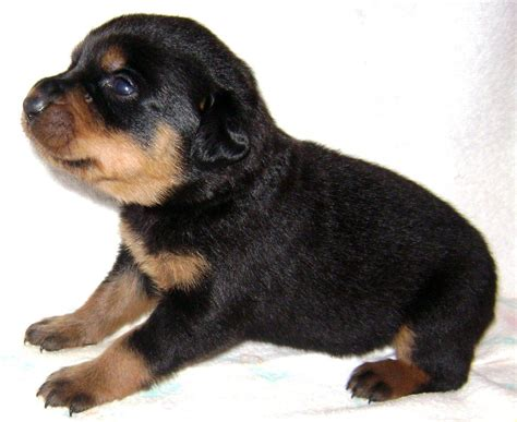 rottweiler shepherd mix puppies for sale german shepherd rottweiler mix puppies shepweiler dogs