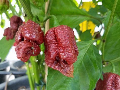 Benih Seed Biji Borg 9 Choco borg 9 chocolate seeds peppers seedwise