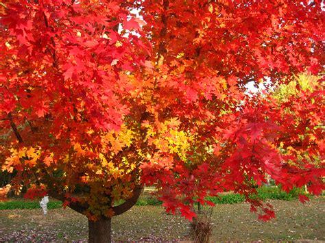 Fall Gardening In Oklahoma - october glory from lynn s garden