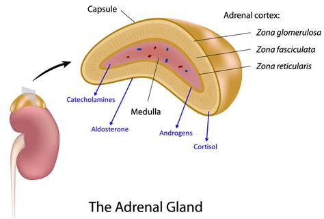 what are the divisions of the surgery section based on adrenalectomy surgery university of colorado denver