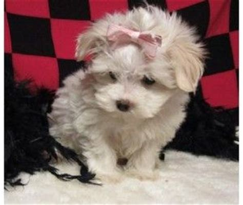 maltipoo puppies for sale in ct the world s catalog of ideas