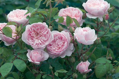 David Patio Roses by David Roses Distinct Vision