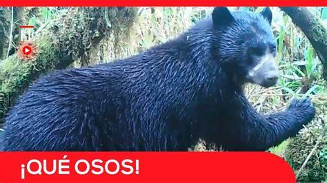 imagenes de osos impresionantes osos andinos las impresionantes im 225 genes de estos