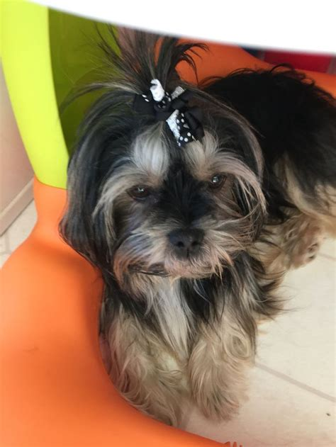 pictures of shorkie dogs with long hair 472 best shorkies images on pinterest cubs puppys and