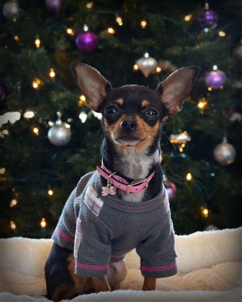 My Chihuahua Fidel Sun by 17 Best Images About Chiguguas Preciosos On