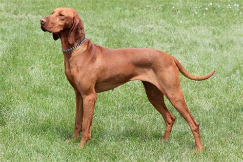 most athletic dogs 14 most athletic breeds show