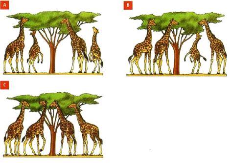 imagenes de las jirafas de darwin teor 237 a de darwin 187 blog de biolog 237 a