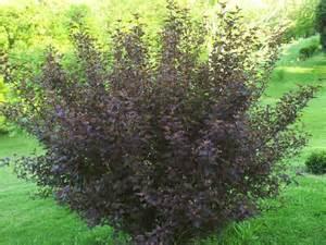 plantfiles pictures purple ninebark monlo physocarpus opulifolius by hczone6