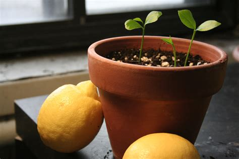 come si coltiva il limone in vaso come coltivare i limoni in vaso lifegate