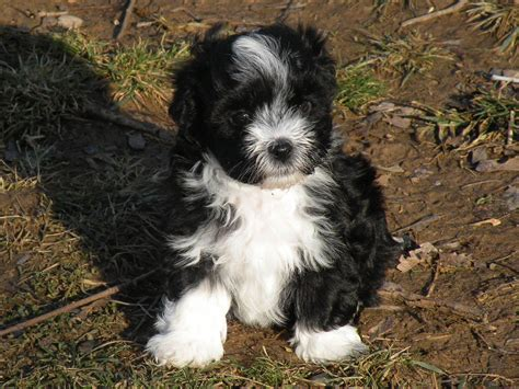 havanese breeders ct havanese aol image search results