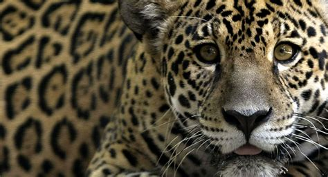 imagenes de animales jaguar unos 356 millones de animales salvajes fueron atropellados