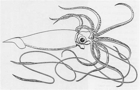 file giant squid logy bay png wikipedia