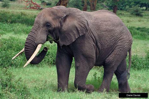 desain gambar gajah foto foto binatang gambar gajah