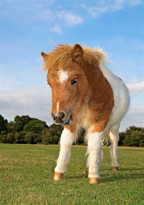 shetland pony stock photos images royalty free shetland shetland pony royalty free stock photography image 35044177