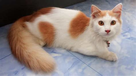 Vitamin Untuk Bulu Kucing 3 cara membuat bulu kucing kung lebat dengan cepat alami