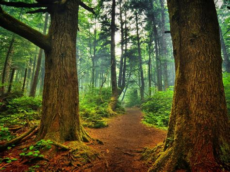 forest trees trees nature background  wallpaperscom