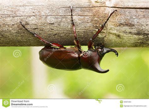 cervo volante insetto cervo volante di rinoceronte fotografia stock immagine