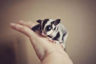 10 sugar gliders that are just too sweet bored panda
