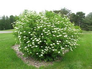 viburnum dentatum arrowwood viburnum butterfly gardens to go