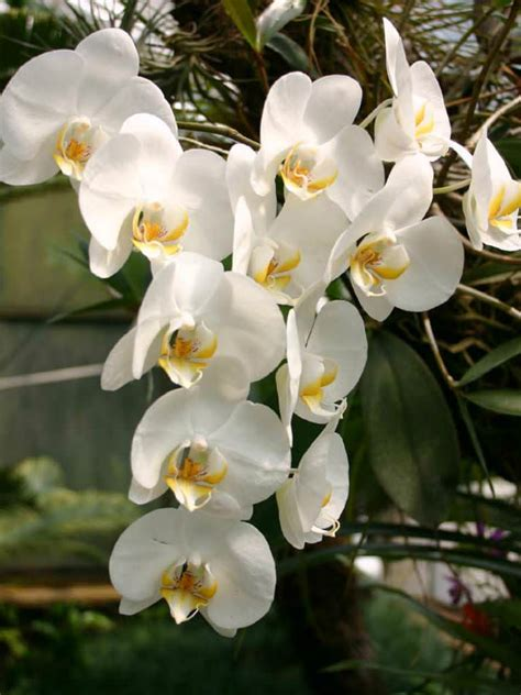care of orchids after flowering phalaenopsis amabilis moth orchid world of flowering plants