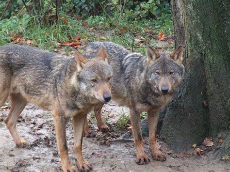 il lupo iberico 232 a rischio la spagna si mobilita per