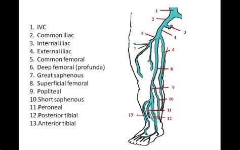 Soleal Vein Anatomy