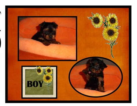 teacup yorkies for sale in cincinnati oh yorkie puppies for sale adoption from cincinnati ohio adpost classifieds gt usa