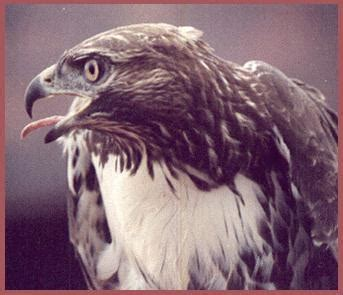 image gallery oklahoma birds of prey