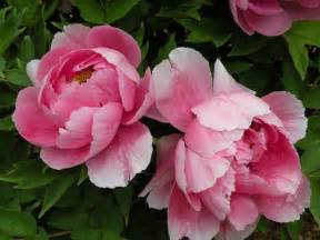 peony flowers peonies in classical chinese poetry crickethillgarden