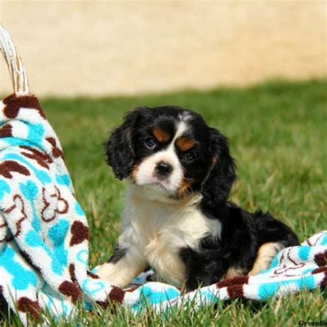ruby cavalier king charles spaniel puppies for sale cavalier king charles spaniel puppies for sale greenfield puppies