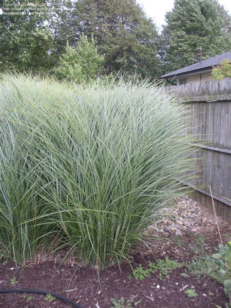 Morning Light Maiden Grass by Plantfiles Pictures Eulalia Maiden Grass Zebra Grass