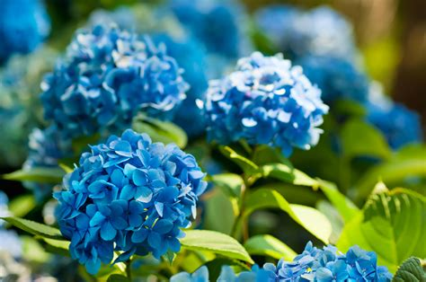 zone 8 gardening zone 8 hydrangea varieties can you grow hydrangeas in