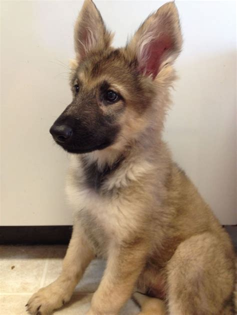 5 in 1 puppy german shepherd puppy those ears animais amorosos pintere