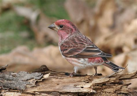 identification keys and tips house finch vs purple finch