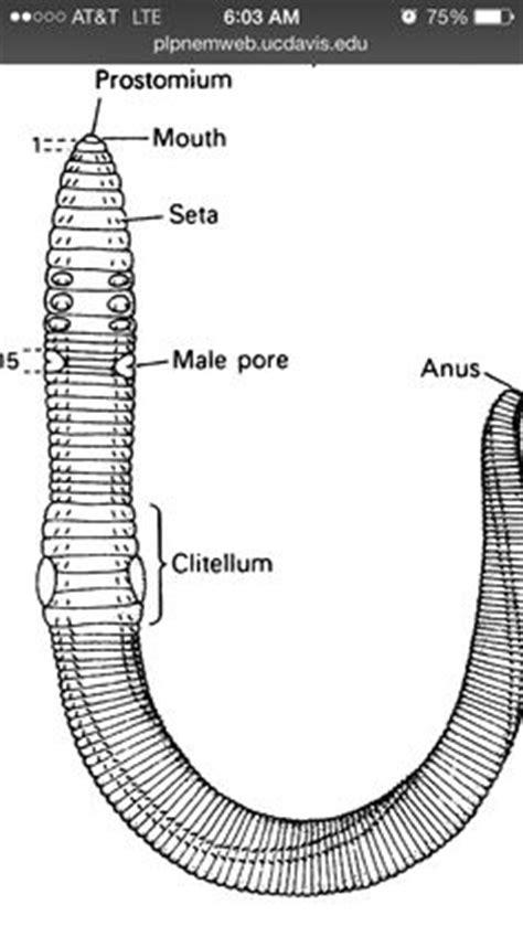 annelida diagram phylum annelida phylum annelida