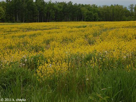 barbarea vulgaris garden yellow rocket minnesota wildflowers