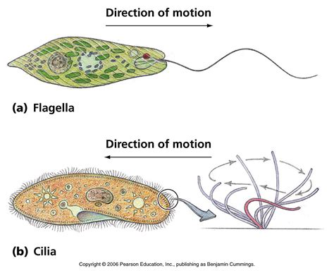 diagram of flagella biology pictures flagella and cilia motion