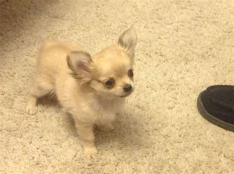 chihuahua for sale chihuahua puppy for sale caerphilly caerphilly pets4homes