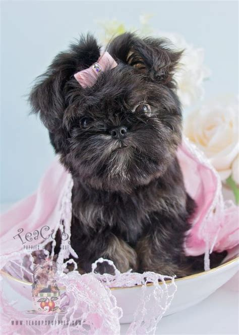teacup brussels griffon puppies for sale brussels griffon puppies for sale by teacups puppies boutique teacups puppies