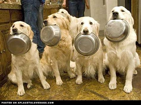 food for golden retriever animals freshman i
