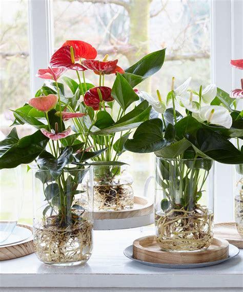 bare rooted anthurium water plants indoor indoor water