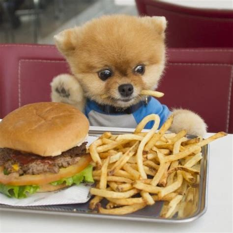 what of food do pomeranians eat pomeranians burgers and the o jays on